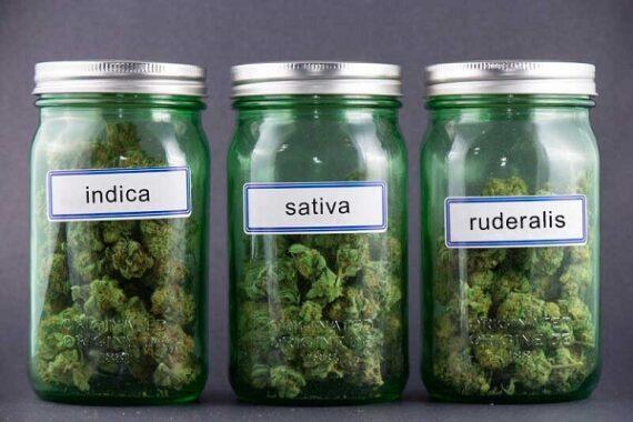 cannabis-sorten-indica-sativa-ruderalis